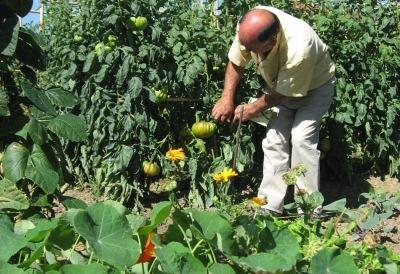 Huerta Erandio - Tomates